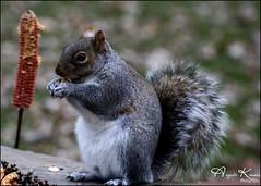 Does The Peanut Butter Stick... (angelakanner) Tags: canon70d tamron18400 greysquirrel backyard longisland