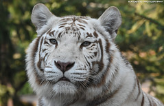 Bengal tiger - Zoo Amneville (Mandenno photography) Tags: animal animals dierenpark dierentuin dieren zoo zooamneville amneville france frankrijk bigcat big cat cats tiger tigers tijger white whitetiger orissa discovery bbcearth bbc
