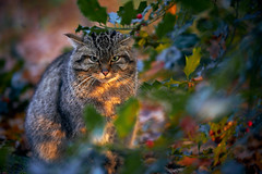 Grumpy (Wild) Cat (DB-Naturfotografie) Tags: wildkatze wildcat grumpy grumpycat grimmig animal cat natur nature abendsonne sunset stare blick canon eosr