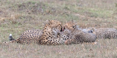 Cheetah bonding (tickspics ) Tags: africa cheetah maranorth kenya acinonyxjubatus felidae felinae iucnredlistvulnerable mnc maranorthconservancy