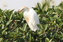Cattle Egret (Roy Lowry) Tags: cattleegret bubulcusibis bugibba malta