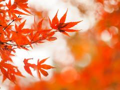 Autumn Red (Tomo M) Tags: japanesemaple モミジ 紅葉 autumn leaf leaves red bokeh nature helios