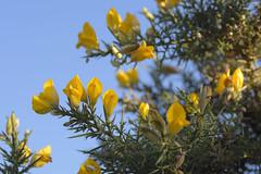 DecemberFlora (Tony Tooth) Tags: nikon d7100 sigma 70mm flowers yellow green blue gorse furze ulexeuropaeus december macclesfield cheshire