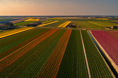Dutch Organised Agriculture. (Alex-de-Haas) Tags: dji dutch europa europe fc6310 holland nederland nederlands netherlands noordholland p4p phantom phantom4 phantom4pro aerial aerialphotography agriculture akkerbouw beautiful beauty bloemen bloemenvelden boerenland bollenvelden bulbfieldsflowerfields farmland farming flowers landbouw landscape landscapephotography landschaft landschap landschapsfotografie lente lucht luchtfotografie mooi polder pracht quadcopter schoonheid skies sky spring sundown sunset tulip tulips tulp tulpen zonsondergang schagerbrug northholland