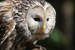 Ural Owl (dianne_stankiewicz) Tags: nature wildlife outdoors bird owl raptor uralowl feathers portrait