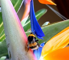 Matching colors (Ioannis Ks) Tags: bumblebee insect strelitzia flower garden nature crete