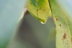 Sony a7r2 sony 90mm 2.8 macro g (Jasrmcf) Tags: sony sonya7r sonymacro sonyimages sony90mm28 sonya7rii garden nature ngc colours colourful colourartaward detail depthoffield decorations smooth blur bokeh bokehgraph bokehlicious flower leaf dreamy reflection raindrops water greatphotographers