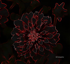 Festplattenfund (petra.foto busy busy busy) Tags: dahliengarten dahlie blume blüte abstrakt kunst art hamburg germany fotopetra canon neon flowers outside