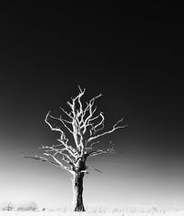 The Dead Tree (graemes83) Tags: tree dead decay bark trunk nature blackandwhite monochrome infrared ir 850nm bright sunny winter landscape