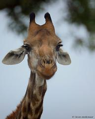 Hello (leendert3) Tags: leonmolenaar southafrica krugernationalpark wildlife wildanimal wilderness nature naturereserve naturalhabitat mammal giraffe coth5