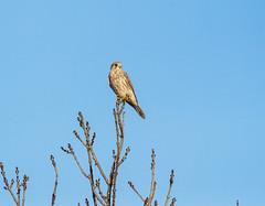 Kestrel (ray 96 blade) Tags: kestrel perch groveferrystodmarshnnr birds wildlife kent