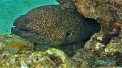 Moray Eel (mikederrico69) Tags: macro closeup ocean oceanlife sea sealife scuba scubadiving marine marinelife moray eel animal
