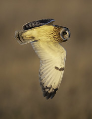 Short Eared Owl - finally! (Chris Bainbridge1) Tags: asioflammeus short eared owl golden hour inflight