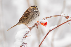 White-throated Sparrow | Zonotrichia albicollis | Bruant à gorge blanche (Paul B Jones) Tags: pec princeedwardcounty pointtraverse ontario canada whitethroatedsparrow zonotrichiaalbicollis bruantàgorgeblanche bird nature wildlife snow winter canoneos1dxmarkii ef600mmf4lisiii 14xiii