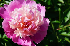 (claudiabull) Tags: peony bloom flower pink summer spring water rain droplet blossom garden nature