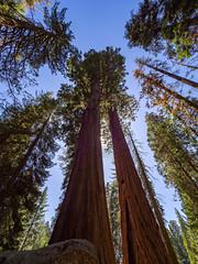 magnificent sequoias (kleiner_eisbaer_75) Tags: sequoia california kalifornien redwood holz bäume tree baum wald forest natur nature mammutbäume usa ngc