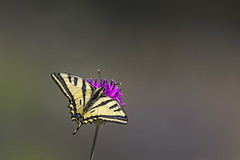 swallowtail (Kees499  Nature pics) Tags: lesvos2019 swallowtail keesmolenaar lightroom nikon greece d500 butterfly vlinder koninginnepage fantasticnature