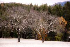 """""""winterlich"""" (Mariandl48) Tags: winterlich schnee schneelandschaft bäume obstbaum sommersgut wenigzell steiermark austria"""