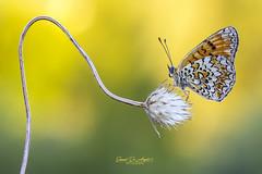 Melitaea (Samuele81) Tags: macro macrofotografia melitaea nikon natura nature ngc nikonnaturephotography farfalla fotografia fotografianaturalistica farfalle butterfly tamron 90mm