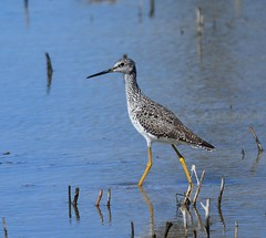 Greater Yellowlegs Grand Chevalier (michel426) Tags: bird oiseau greateryellowlegs grandchevalier water eau wetland milieuhumide spring printemps autumn automne shorebird oiseauderivage