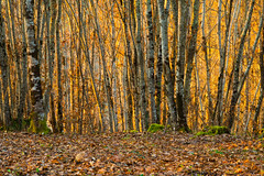 Golden hour dans les bois ( in the woods ) (Cyril Ribault) Tags: golden goldenhour hour bois feuilles arbres automne autumn woods orange vert nature pentax k50 lot occitanie france paysage smcpentaxda18135mmf3556edalifdcwr smc pda 18135mm f3556 ed al if dc wr smcpda18135mmf3556edalifdcwr pentaxart levigan peyrès 46 souche
