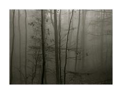 Nov-30-Misty Woodland (Wolfgang Moersch) Tags: fp4 tanol palladiotype