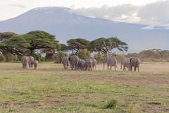 African Elephants - Loxidonta africana (rosebudl1959) Tags: 2019 kenya november africanelephants zebraplainsamboseli amboseli