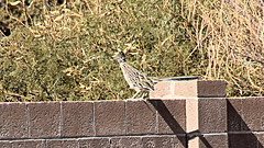 IMG_7802 (rich_new_mexico) Tags: 191119 191119rich november192019 rsrichsanchez richsanchez photobyrsanchez riorancho newmexico canoneosrebelt3i canont3i bird roadrunner