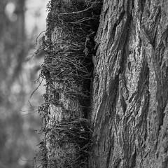 Autumn - Vine On A Tree (Modkuse) Tags: tree treetrunk vines vine nature natural natureart art artphotography artistic artisticphotography photoart fineartphotography fineart acros acrossimulation xh1acrossimulation monochrome bw blackandwhite fujifilm fujinon fujifilmxh1 xh1 fujinonxf1655mmf28rlmwr xf1655mmf28rlmwr captureone affinityphoto
