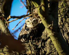 Little Owl (kchallenger.challenger) Tags: littleowl owl calke abbey nationaltrust trust birds birdphotography ukbirds