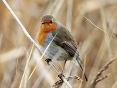 Robin in the reeds (doranstacey) Tags: nature wildlife birds robin rspb oldmoor reserve nikon d5300 tamron 150600mm