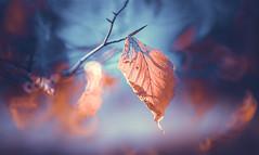Winter leaves series - 4 (Dhina A) Tags: sony a7rii ilce7rm2 a7r2 a7r tamron sp 350mm f56 tamronsp350mmf56 prime ad2 adaptall2 mirrorlens 06b catadioptric reflex cf tele macro manualfocus bokeh lens