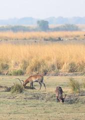 Red Lechwe (peterkelly) Tags: digital canon 6d africa intrepidtravel capetowntovicfalls botswana chobenationalpark antlers antelope choberiver redlechwe grazing eating tree grassland grasses