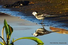 Pied Wagtail. (pete. #hwcp) Tags: hythelagoon duck nikonp1000 tit wader wickedweasel winter pied wagtail