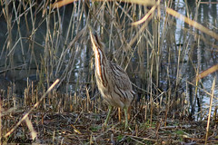 Bittern (Georgiegirl2015) Tags: bittern birds dellalackwildlifephotography avian nature wildlife winter2019 heron uncommon sunny december2019 reedbeds reeds elusive slimbridge gloucestershire wetland canon ef300mm 7dmkii wwt countryside booming freshwater swamps camouflage