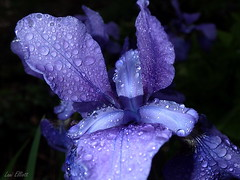Beyond Blue..... (Lani Elliott) Tags: drops droplets waterdroplets aftertherain blue blueflowers iris petals macro macrophotography macrounlimited bokeh blackbackground light bright colour colourful glowing lanisgarden lanisflowers nature naturephotography lanielliott