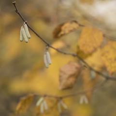 Le temps des chatons * (Titole) Tags: hazelnut catkins noisetier titole nicolefaton squareformat branch shallowdof friendlychallenges