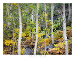 Grove Of Small Aspens (G Dan Mitchell) Tags: grove small aspen trees trunk leaves yellow transition color fall autumn gold green white eastern sierra nevada landscape nature ferns biship creek canyon california usa north america