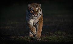 Side Lit Tschuna (Jonnyfez) Tags: tschuna yorkshire wildlife park big cat siberian amur tiger side lit jonnyfez d850