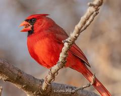Northern Cardinal (Lindell Dillon) Tags: northerncardinal redbird bird birding ebird nature oklahoma wildoklahoma