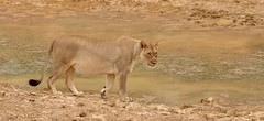 Lioness (haroldmoses) Tags: 2y3a7917 lions kariegaprivategamereserve southafrica portelizabeth