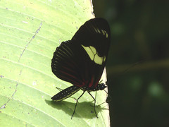P1020871  Dot-bordered Heliconian (Rayed Longwing) (birder2015 Toronto, Canada) Tags: rayedlongwing heliconiusdoris butterfly mariposa lepidoptera insect