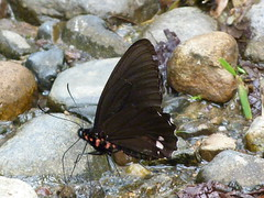 P1020919  Variable Cattleheart (birder2015 Toronto, Canada) Tags: variablecattleheart butterfly mariposa lepidoptera insect