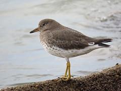 Surfbird (tedell) Tags: surfbird morro rock san luis obispo california december 2019 bird