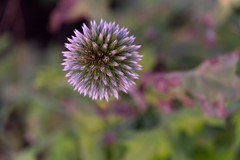 Fireworks (mariebandiera) Tags: flowers nature naturephotography macro closeup bokeh