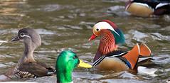 Photo Bomb (ccmm17) Tags: mandarinducks birdsoforegon canon ducks