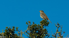 Cruixidell,  Triguero,  Corn Bunting,  (Emberiza calandra) (Francesc Farran) Tags: pajaros pájaro birdphotography naturephotography ornitologia ocells aves animales zoologia nature nikon
