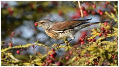 Winter Fieldfare (adult bird). (Jeremy Eyeons) Tags: turdispularis fieldfare redberries rspb framptonmarsh lincolnshire winter migrant bird thrush