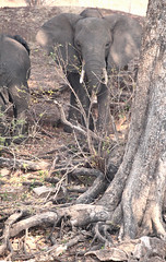Two Trunks (peterkelly) Tags: digital canon 6d africa intrepidtravel capetowntovicfalls botswana chobenationalpark choberiver savannaelephant elephant shore riverbank bank tree trunk roots tusks tusk savannahelephant