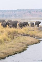 Chobe River Herd (peterkelly) Tags: digital canon 6d africa intrepidtravel capetowntovicfalls botswana chobenationalpark choberiver savannaelephant elephant herd elephants water riverbank shore shoreline savannahelephant